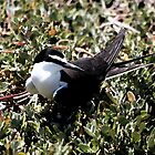 Bridled Tern by Lightfixture