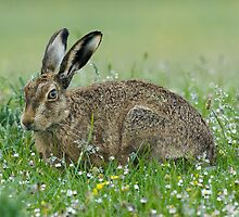 Brown hare in morning dew by wildlifephoto