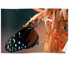 Hecale Longwing Poster
