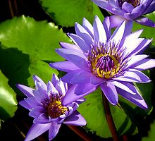 water-lilies by sstarlightss