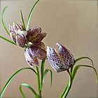 Fritillaria by Barbara Wyeth