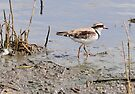 Black-fronted Dotterel by Alwyn Simple