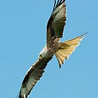 Red Kite by wildlifephoto