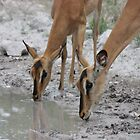 Blackfaced Impalas by HELUA