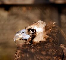 Cinereous/Eurasian Black Vulture by BigD