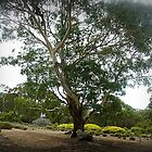 Magnificent tree at Gordon Winery - Vic. by EdsMum
