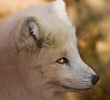 Arctic Fox by Jay Ryser