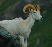Dall Sheep Close-up by babsbini