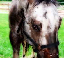 Lancer: Appaloosa Stallion  by Rebecca Bryson