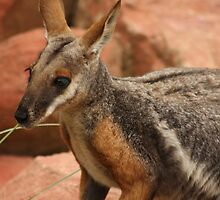 Black Footed Rock Wallaby by Steve Bullock