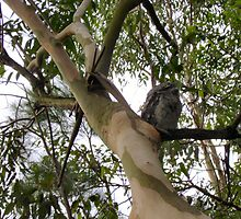 Tawny Frogmouth by reflector