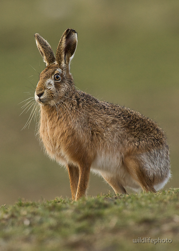 Brown Hare by wildlifephoto