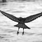 Taking off (Common Raven) by kilmann