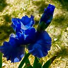 Fractalius Blue Iris by thegrizz15