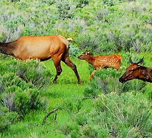 Elk on the move... by Bob Moore