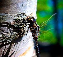 DragonFly by Trenton Purdy