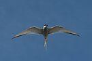 Arctic Tern II by Steve Bulford