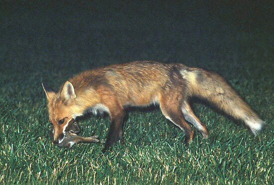 Fox with Rabbit by Bill Spengler