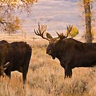 A bull moose, during the rut,  courts a cow along the Gros Ventre River, Jackson Hole, Wyoming by Albert Dickson