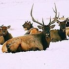 Winter Elk Herd by blindwolfspirit
