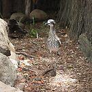 Bush Curlew by jaycee