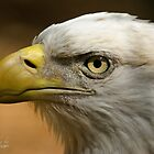 Bald Eagle Portrait by imagetj