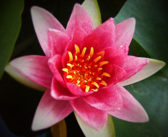 Pink Brilliance Waterlily by smile4me
