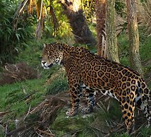 Female Leopard by Franco De Luca Calce
