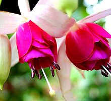 Fushia Blooms by Laurel Talabere