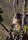 Langur Monkey Gazes by Steve Bulford