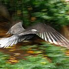 Black Noody in flight. by John Donatiu