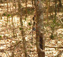 Golden Orb Weaver Spider by Ollie de Brett