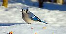 BlueJay 1  by Elaine  Manley