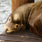 Sealion by Steve Hunter