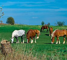 Belgian and Percheron Draft Horses on a Mennonite Farm by MarkEmmerson