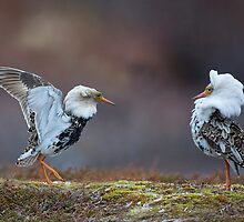 Displaying Ruff by wildlifephoto