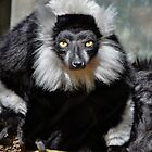 Black and White Ruffed Lemur by venny