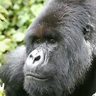 Silverback Mountain Gorilla by Steve Bulford