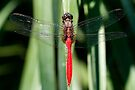 Fiery Skimmer Dragonfly - Orthetrum villosovittatum by Normf