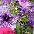Purple Petunias by samiam