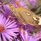 Common Buckeye and The Aster by Amanda Keaton