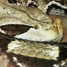 Gaboon Viper by starbucksgirl26