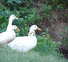 3 Ducks by Kimberly Darby