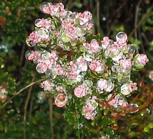 Raindrops on pink and white flower. by Marilyn Baldey