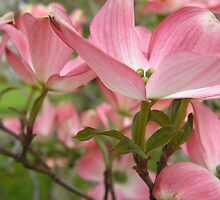 Flowering Dogwood 5 by KateLinden