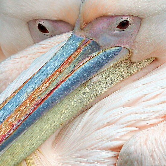 Pink pelicans by jimmy hoffman