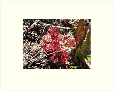 Round leaf Sundew by May Lattanzio