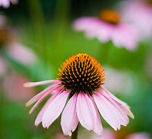 Cone Flower by Marcus Mawby