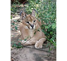 Sally, the Caracal Photographic Print