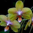 THREE ORCHIDS by Johan  Nijenhuis
